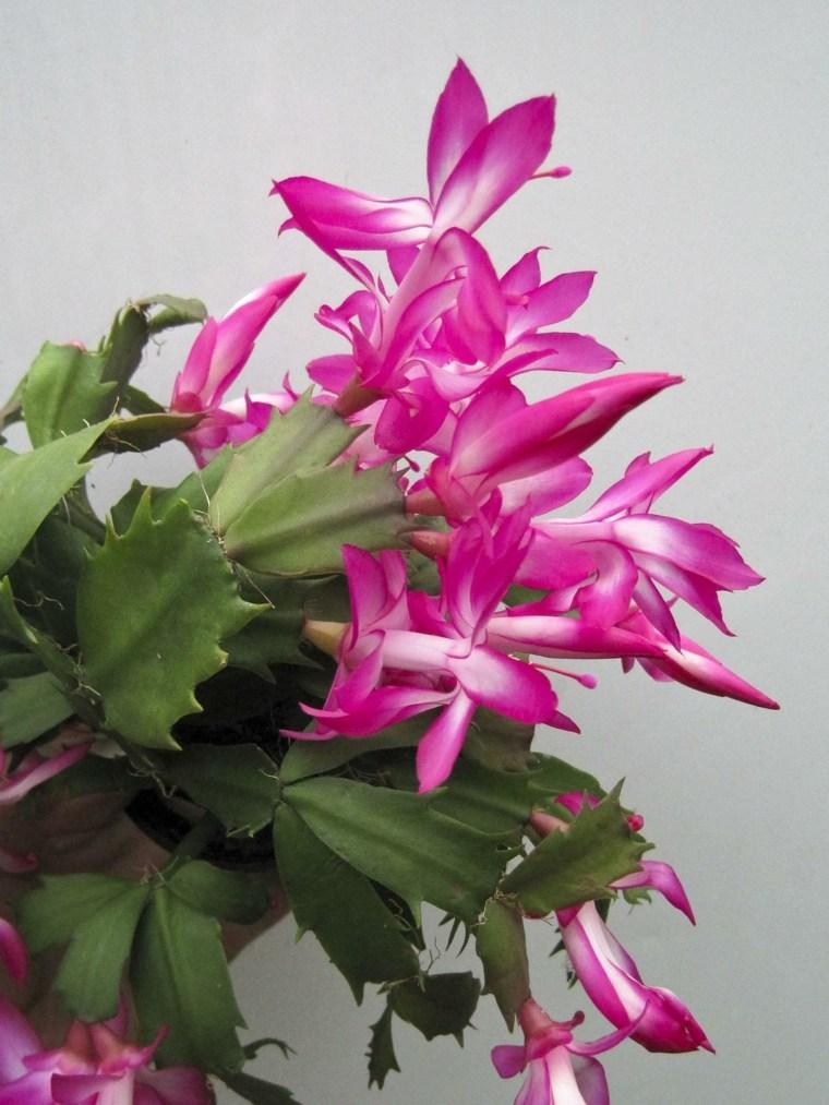 plantas de interior que florecen en invierno